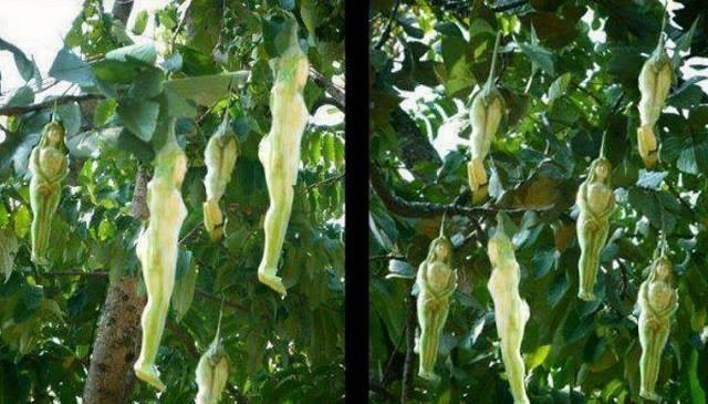 Trái cây hình người ở Thái Lan và câu chuyện bí ẩn đằng sau