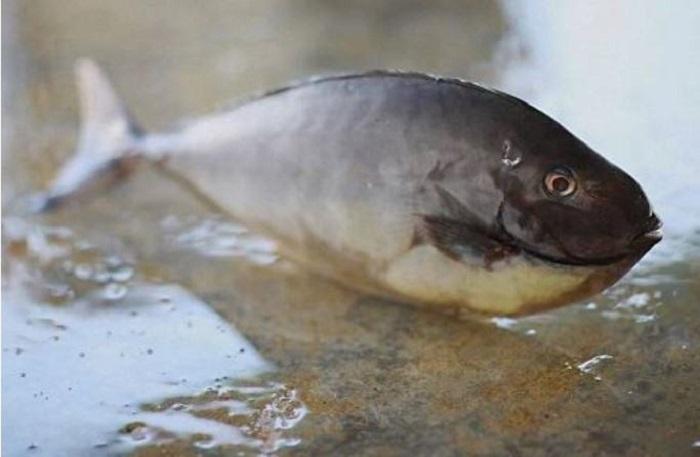 Cá bò gai